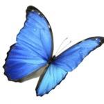 Schmetterling in blau